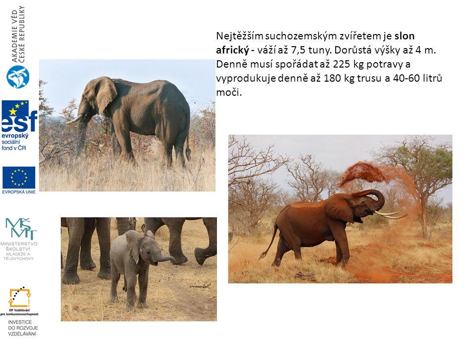 Nejtěžším suchozemským zvířetem je slon africký - váží až 7,5 tuny. Dorůstá výšky až 4 m. Denně musí spořádat až 225 kg potravy a vyprodukuje denně až
