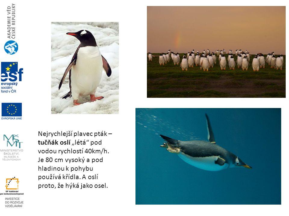 """Nejrychlejší plavec pták – tučňák oslí """"létá"""" pod vodou rychlostí 40km/h. Je 80 cm vysoký a pod hladinou k pohybu používá křídla. A oslí proto, že hýk"""