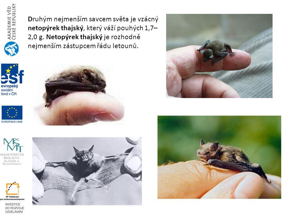 Druhým nejmenším savcem světa je vzácný netopýrek thajský, který váží pouhých 1,7– 2,0 g. Netopýrek thajský je rozhodně nejmenším zástupcem řádu letou