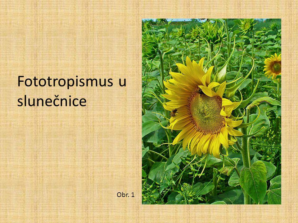 Fototropismus u slunečnice Obr. 1