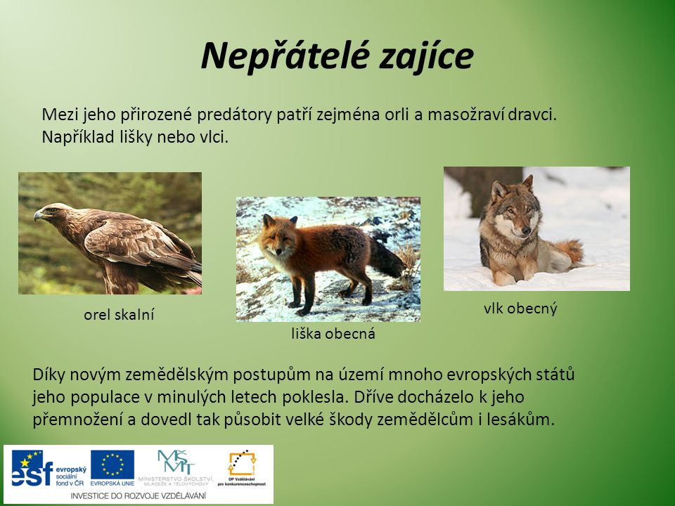 Nepřátelé zajíce Mezi jeho přirozené predátory patří zejména orli a masožraví dravci. Například lišky nebo vlci. orel skalní liška obecná vlk obecný D