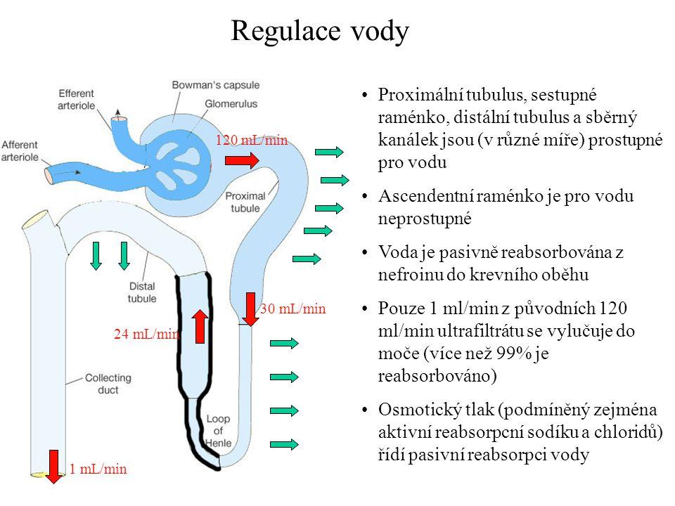 30 mL/min 120 mL/min 24 mL/min 1 mL/min Regulace vody •Proximální tubulus, sestupné raménko, distální tubulus a sběrný kanálek jsou (v různé míře) pro