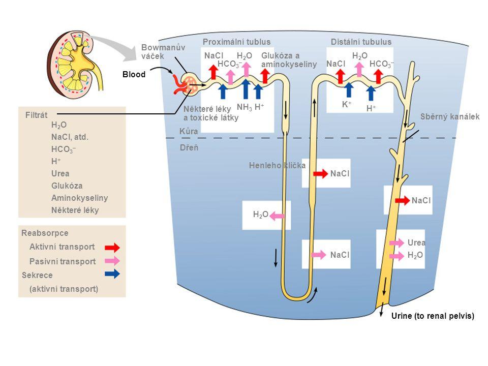 Bowmanův váček Blood Proximální tublus NaCl HCO 3 – H2OH2OGlukóza a aminokyseliny Některé léky a toxické látky NH 3 H+H+ Kůra Dřeň Filtrát H2OH2O NaCl