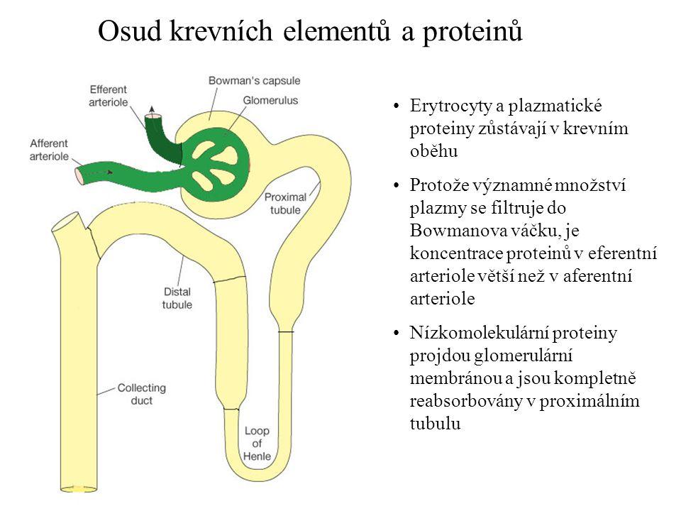 Osud krevních elementů a proteinů •Erytrocyty a plazmatické proteiny zůstávají v krevním oběhu •Protože významné množství plazmy se filtruje do Bowman