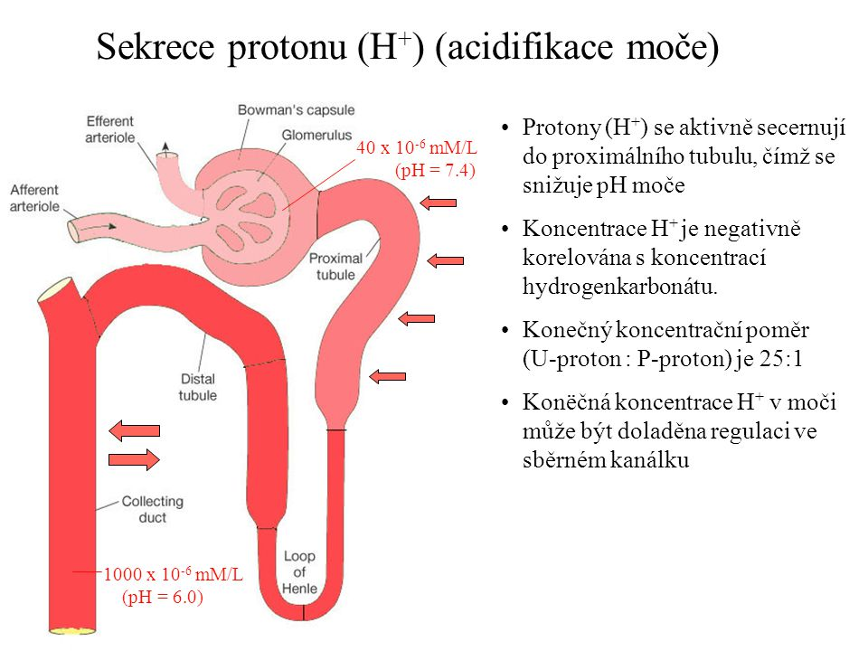 Sekrece protonu (H + ) (acidifikace moče) 40 x 10 -6 mM/L (pH = 7.4) 1000 x 10 -6 mM/L (pH = 6.0) •Protony (H + ) se aktivně secernují do proximálního