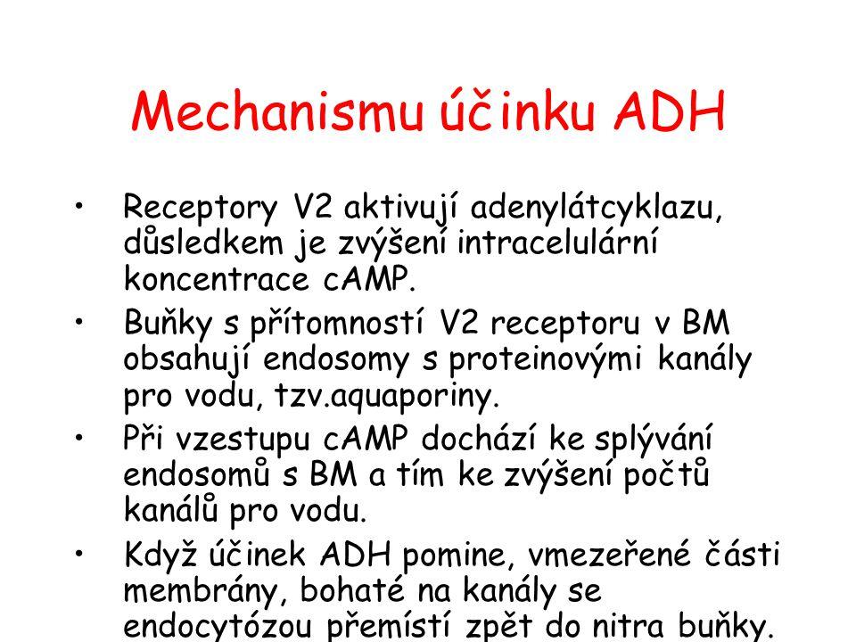 Mechanismu účinku ADH •Receptory V2 aktivují adenylátcyklazu, důsledkem je zvýšení intracelulární koncentrace cAMP. •Buňky s přítomností V2 receptoru