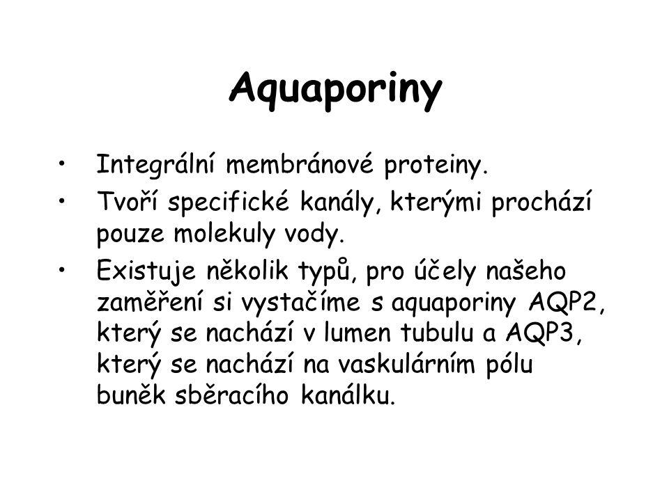 Aquaporiny •Integrální membránové proteiny. •Tvoří specifické kanály, kterými prochází pouze molekuly vody. •Existuje několik typů, pro účely našeho z