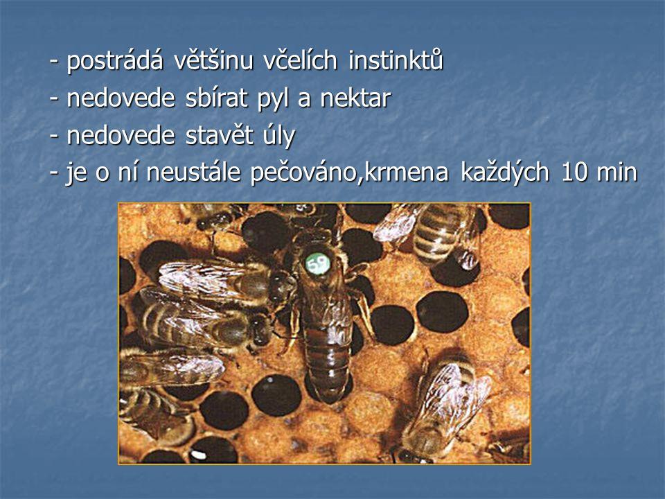 - postrádá většinu včelích instinktů - postrádá většinu včelích instinktů - nedovede sbírat pyl a nektar - nedovede sbírat pyl a nektar - nedovede stavět úly - nedovede stavět úly - je o ní neustále pečováno,krmena každých 10 min - je o ní neustále pečováno,krmena každých 10 min