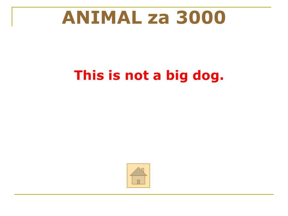"""ANIMAL za 3000 Řekni anglicky: """"Toto není velký pes."""" ODPOVĚĎ"""