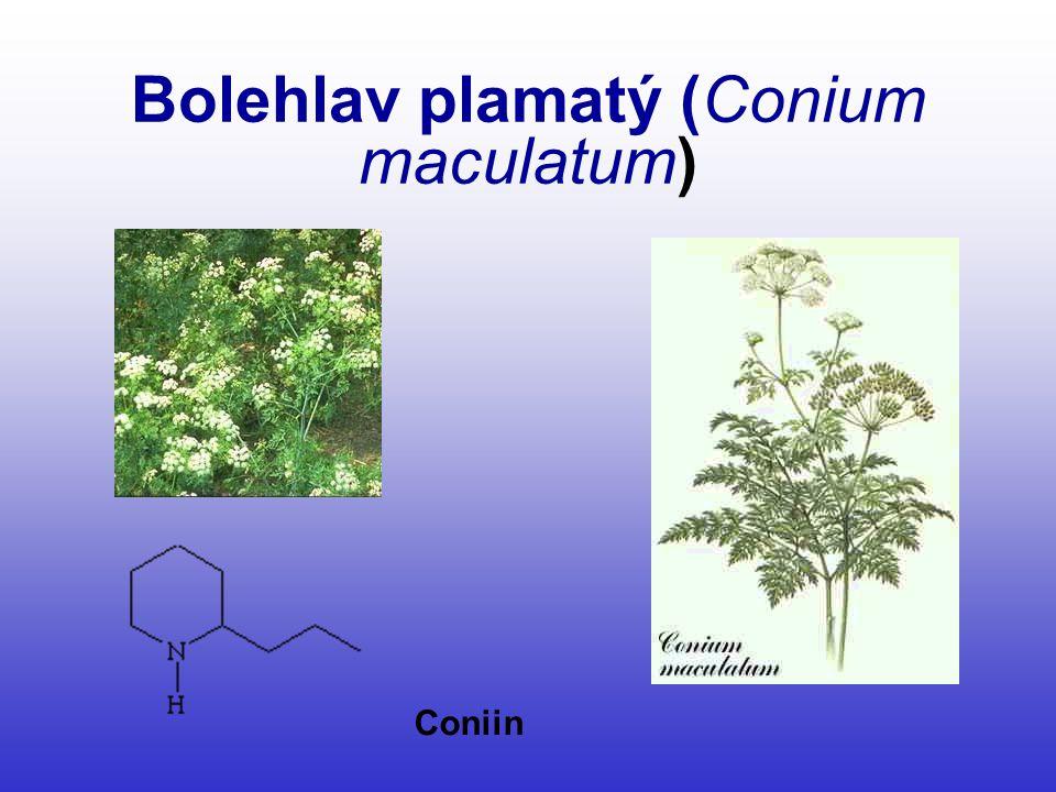 Bolehlav plamatý (Conium maculatum) Coniin