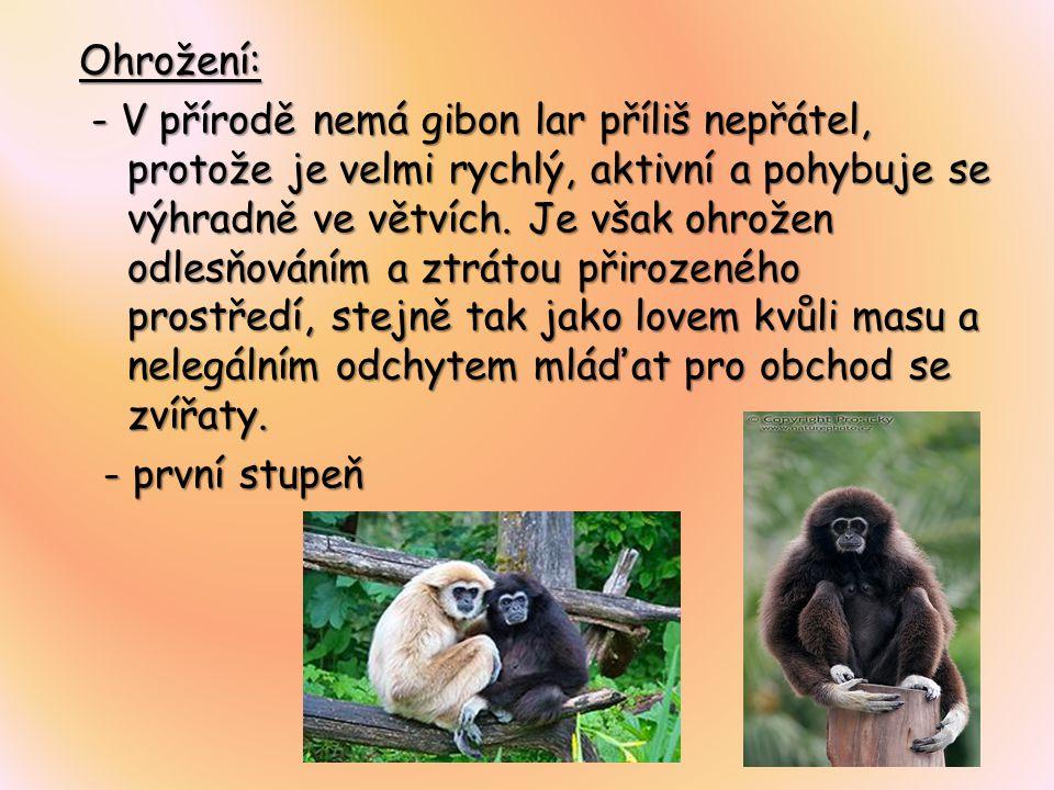 Ohrožení: - V přírodě nemá gibon lar příliš nepřátel, protože je velmi rychlý, aktivní a pohybuje se výhradně ve větvích. Je však ohrožen odlesňováním