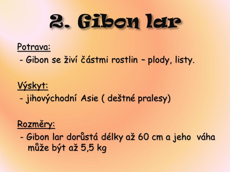 Charakteristika: Gibon lar je, stejně jako jiní giboni, vysoce specializovaný na život v korunách stromů.