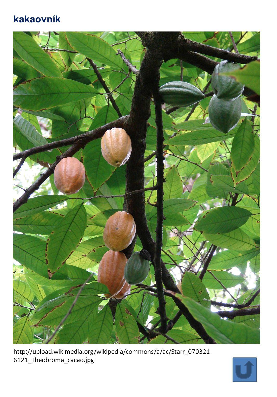 http://upload.wikimedia.org/wikipedia/commons/a/ac/Starr_070321- 6121_Theobroma_cacao.jpg kakaovník