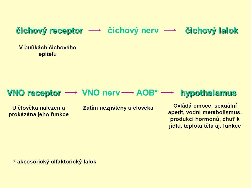 VNO receptor AOB*hypothalamus Zatím nezjištěny u člověkaU člověka nalezen a prokázána jeho funkce Ovládá emoce, sexuální apetit, vodní metabolismus, p