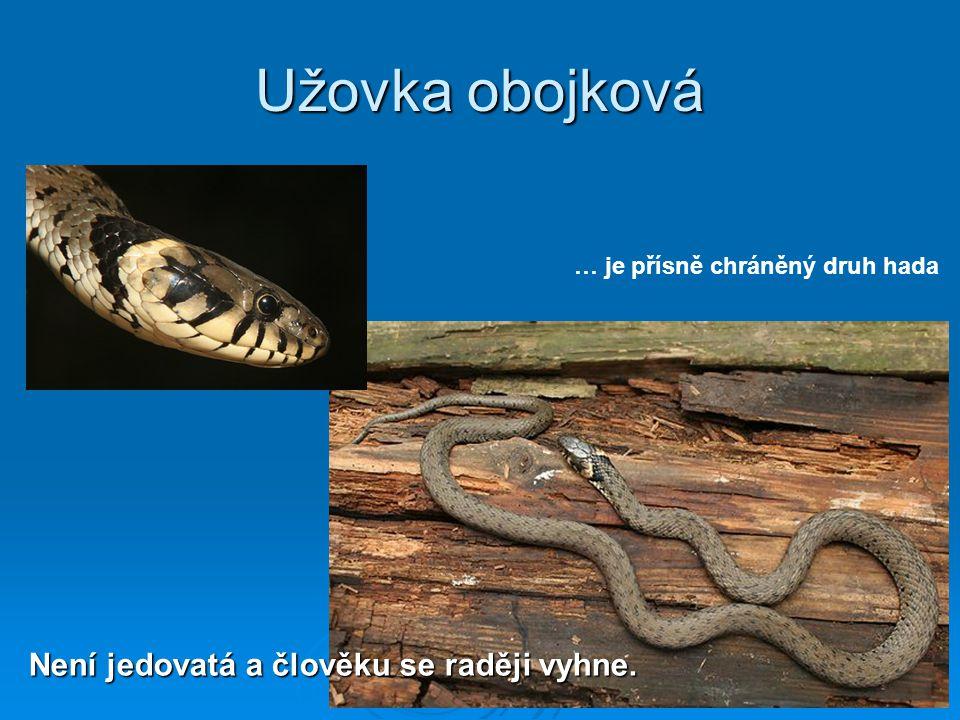 Užovka obojková Není jedovatá a člověku se raději vyhne. … je přísně chráněný druh hada