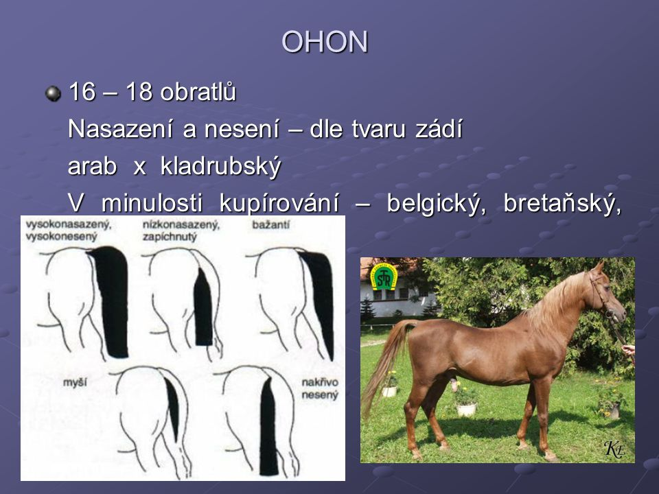 OHON 16 – 18 obratlů Nasazení a nesení – dle tvaru zádí Nasazení a nesení – dle tvaru zádí arab x kladrubský V minulosti kupírování – belgický, bretaň