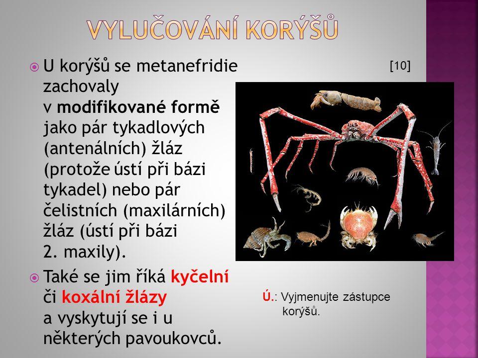  U korýšů se metanefridie zachovaly v modifikované formě jako pár tykadlových (antenálních) žláz (protože ústí při bázi tykadel) nebo pár čelistních