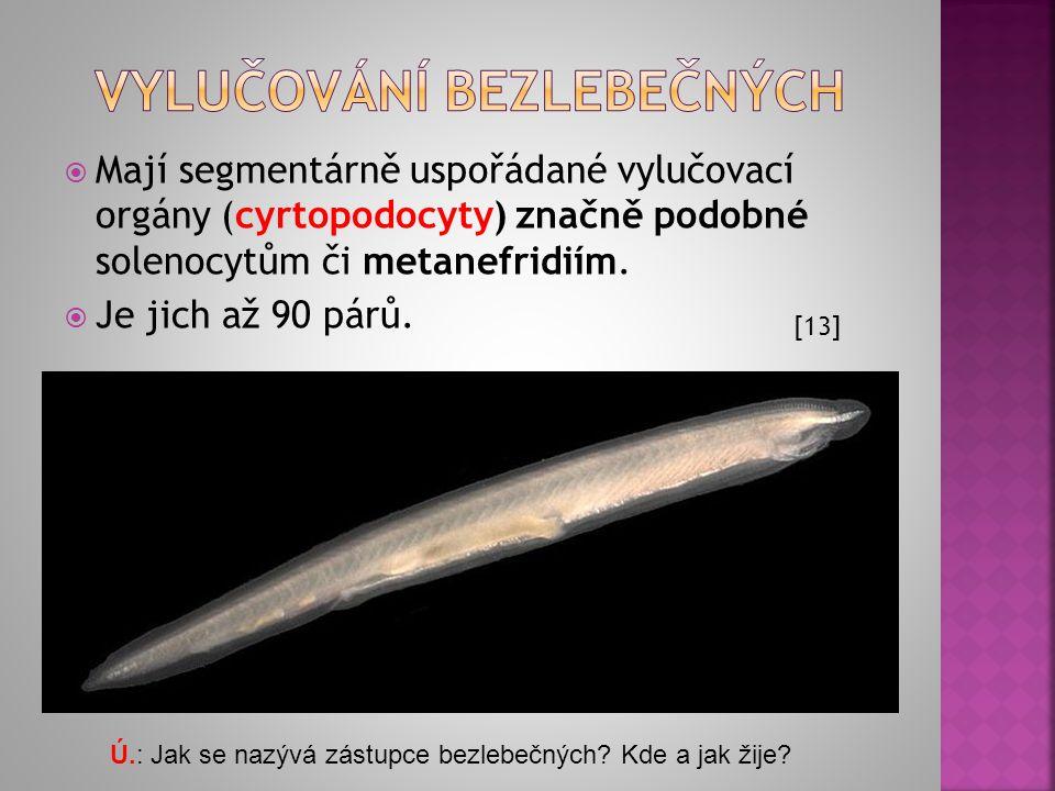  Mají segmentárně uspořádané vylučovací orgány (cyrtopodocyty) značně podobné solenocytům či metanefridiím.  Je jich až 90 párů. [13] Ú.: Jak se naz
