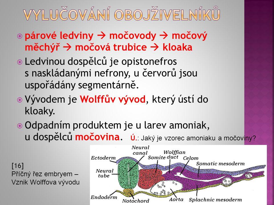  párové ledviny  močovody  močový měchýř  močová trubice  kloaka  Ledvinou dospělců je opistonefros s naskládanými nefrony, u červorů jsou uspoř