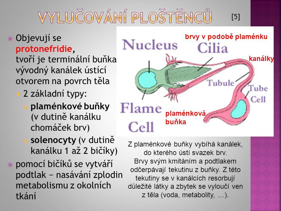  Objevují se protonefridie, tvoří je terminální buňka a vývodný kanálek ústící otvorem na povrch těla  2 základní typy: plaménkové buňky (v dutině k
