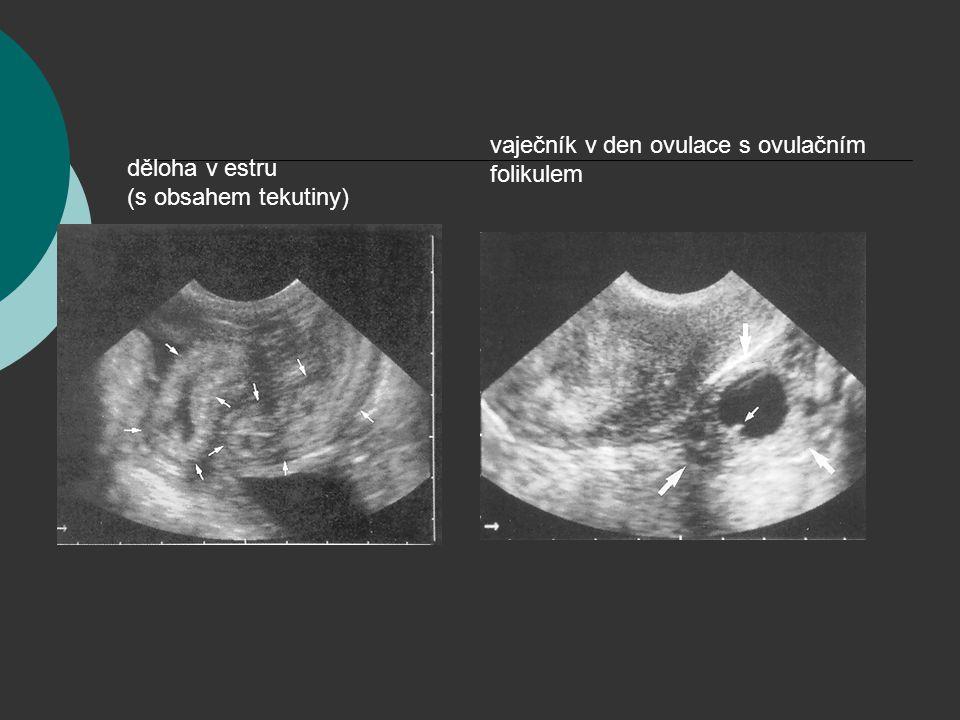 děloha v estru (s obsahem tekutiny) vaječník v den ovulace s ovulačním folikulem