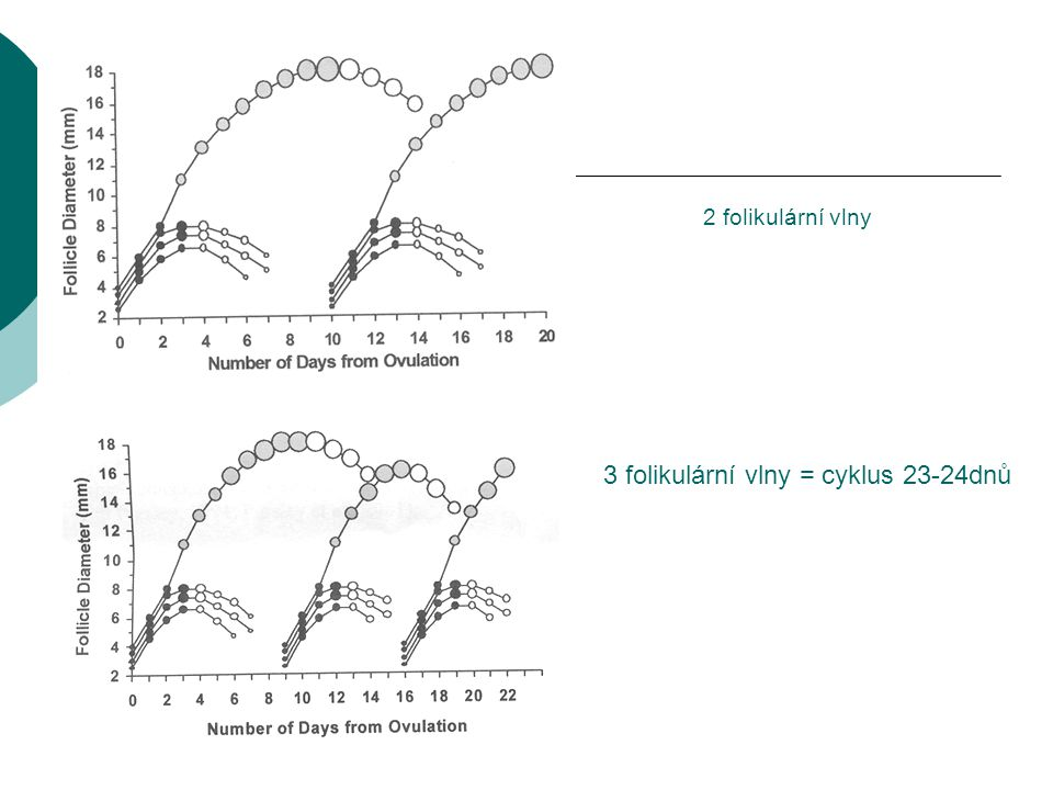 2 folikulární vlny 3 folikulární vlny = cyklus 23-24dnů