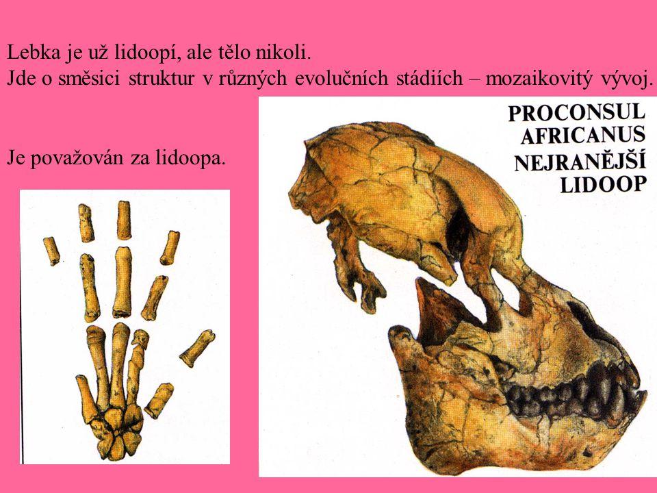Lebka je už lidoopí, ale tělo nikoli. Jde o směsici struktur v různých evolučních stádiích – mozaikovitý vývoj. Je považován za lidoopa.