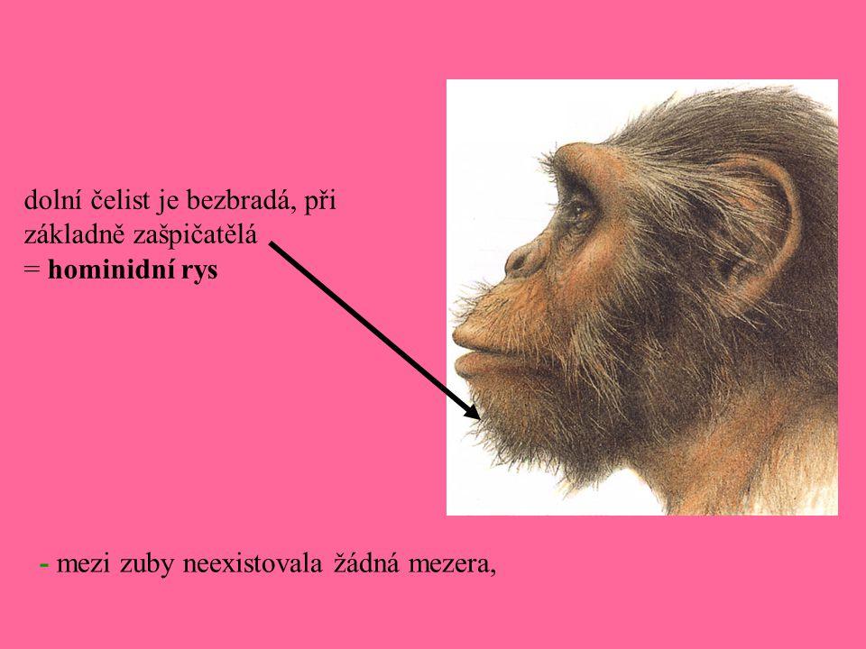 - mezi zuby neexistovala žádná mezera, dolní čelist je bezbradá, při základně zašpičatělá = hominidní rys