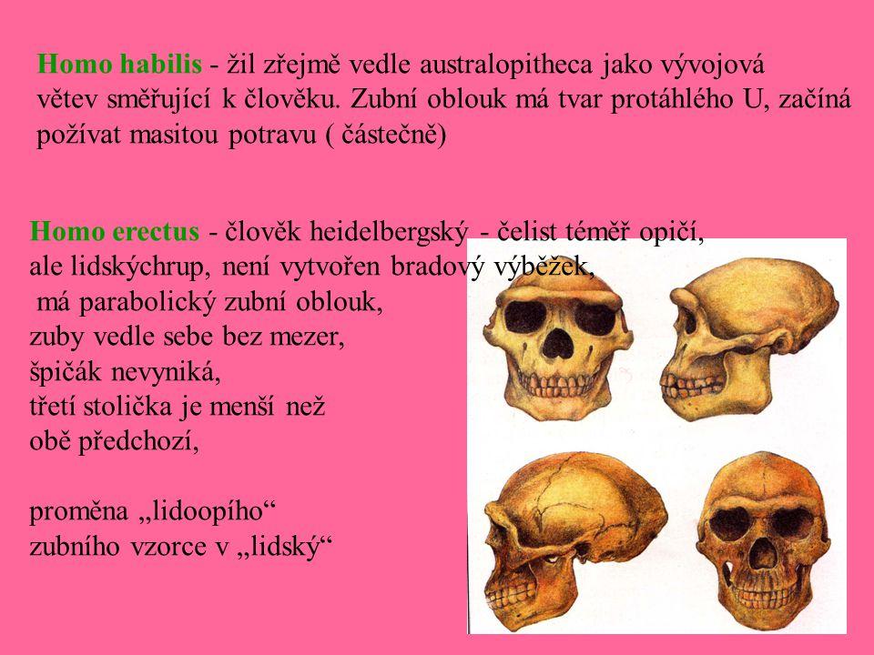 Homo habilis - žil zřejmě vedle australopitheca jako vývojová větev směřující k člověku. Zubní oblouk má tvar protáhlého U, začíná požívat masitou pot