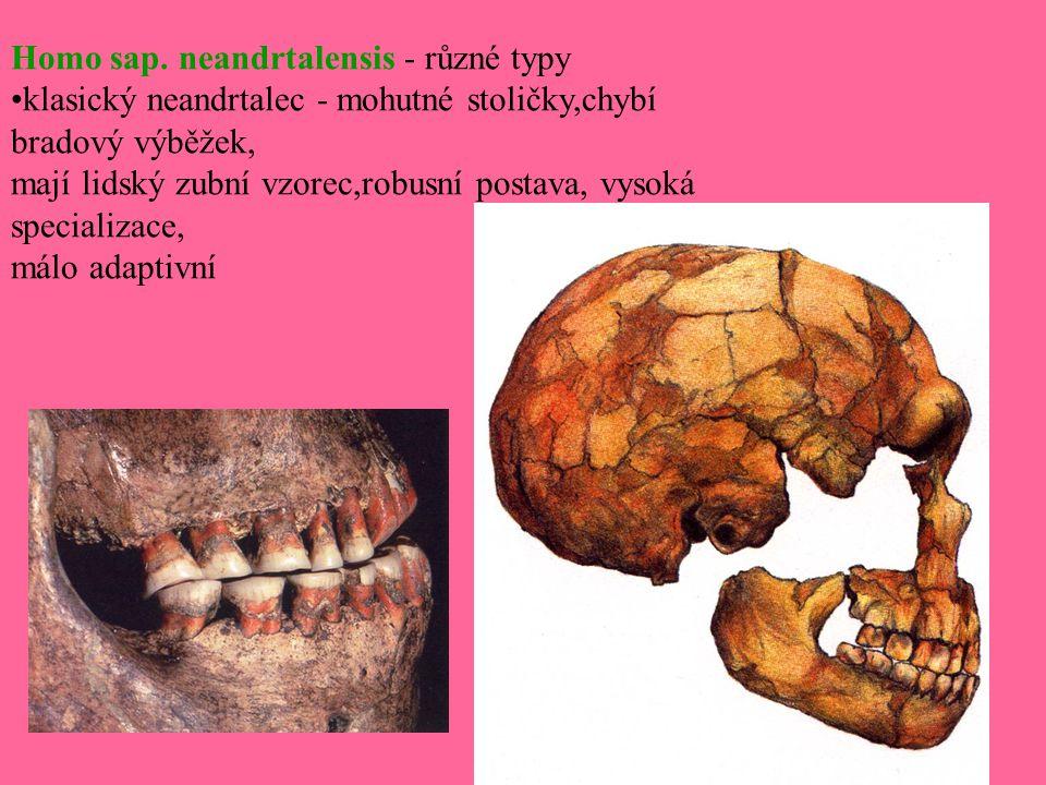 Homo sap. neandrtalensis - různé typy •klasický neandrtalec - mohutné stoličky,chybí bradový výběžek, mají lidský zubní vzorec,robusní postava, vysoká