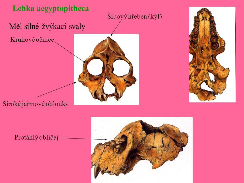 Měl silné žvýkací svaly Lebka aegyptopitheca Kruhové očnice Široké jařmové oblouky Šípový hřeben (kýl) Protáhlý obličej