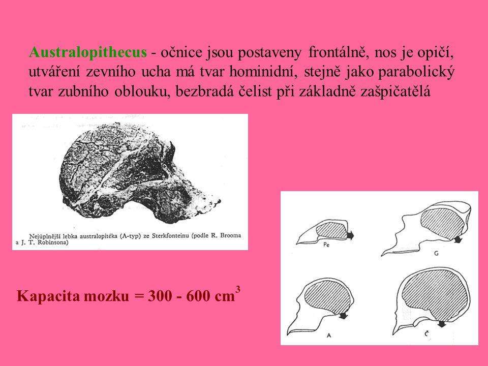 Australopithecus - očnice jsou postaveny frontálně, nos je opičí, utváření zevního ucha má tvar hominidní, stejně jako parabolický tvar zubního oblouk