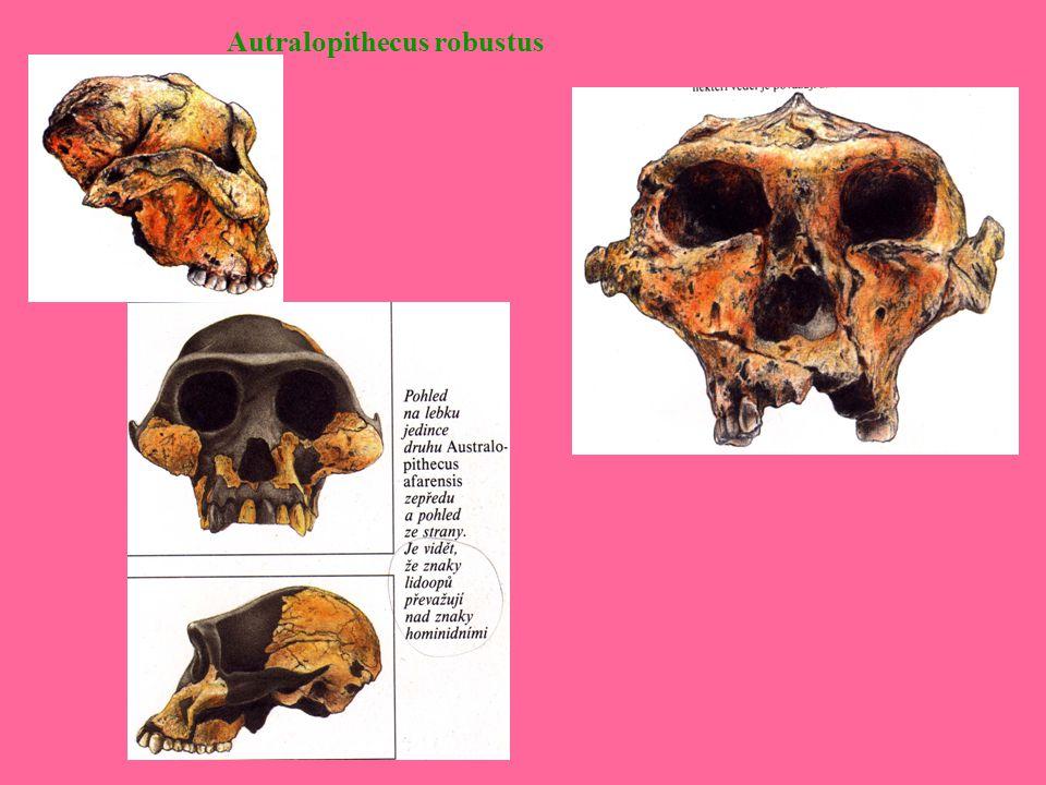 Autralopithecus robustus