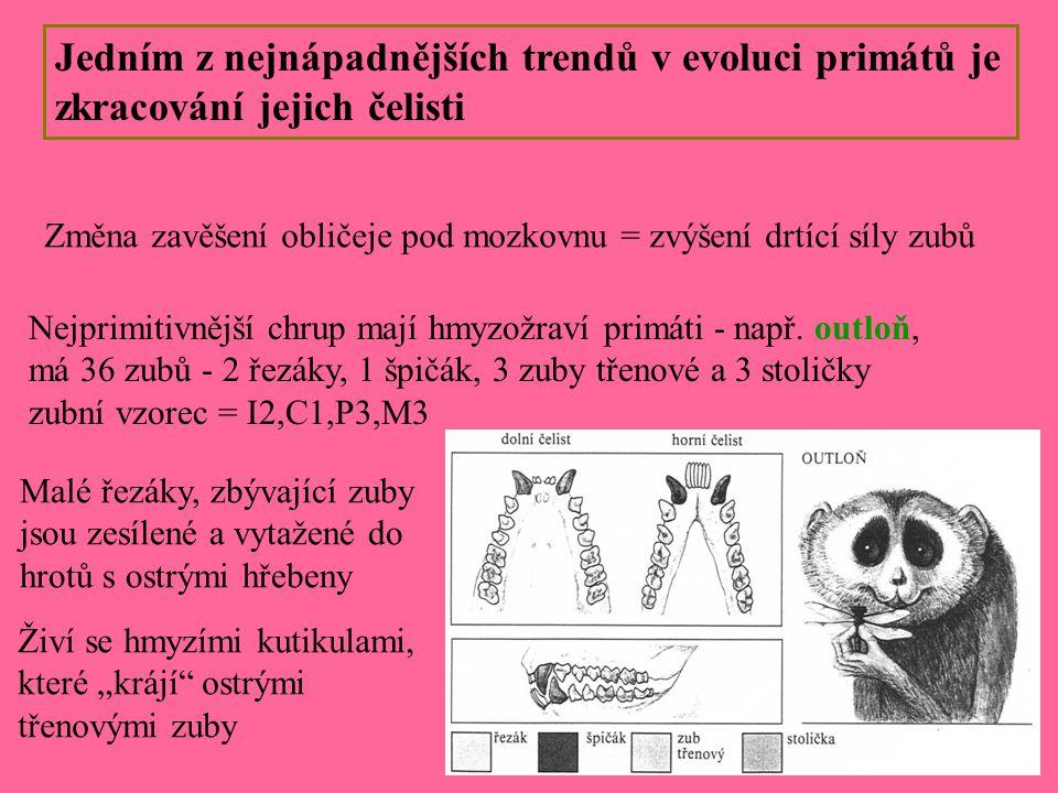 Jedním z nejnápadnějších trendů v evoluci primátů je zkracování jejich čelisti Změna zavěšení obličeje pod mozkovnu = zvýšení drtící síly zubů Nejprim