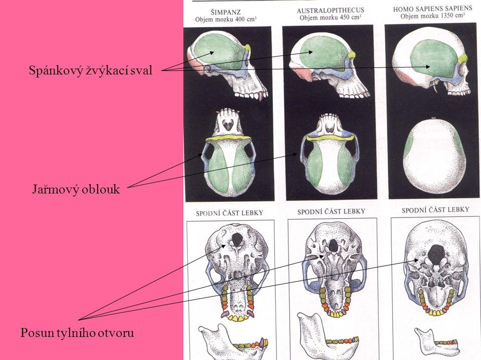 Posun tylního otvoru Jařmový oblouk Spánkový žvýkací sval