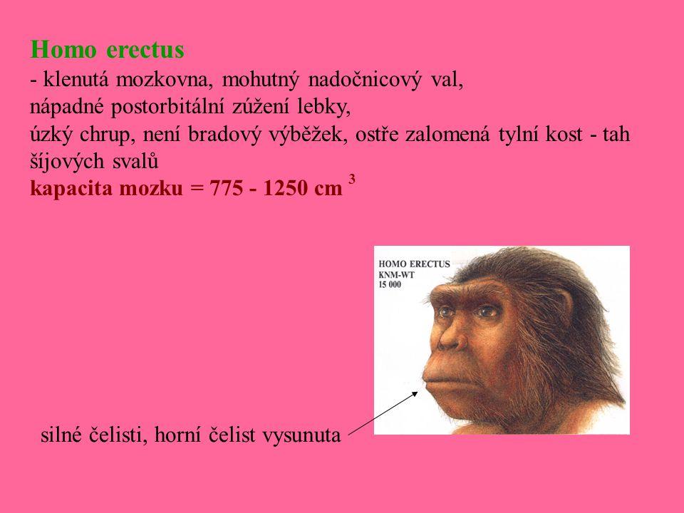 Homo erectus - klenutá mozkovna, mohutný nadočnicový val, nápadné postorbitální zúžení lebky, úzký chrup, není bradový výběžek, ostře zalomená tylní k