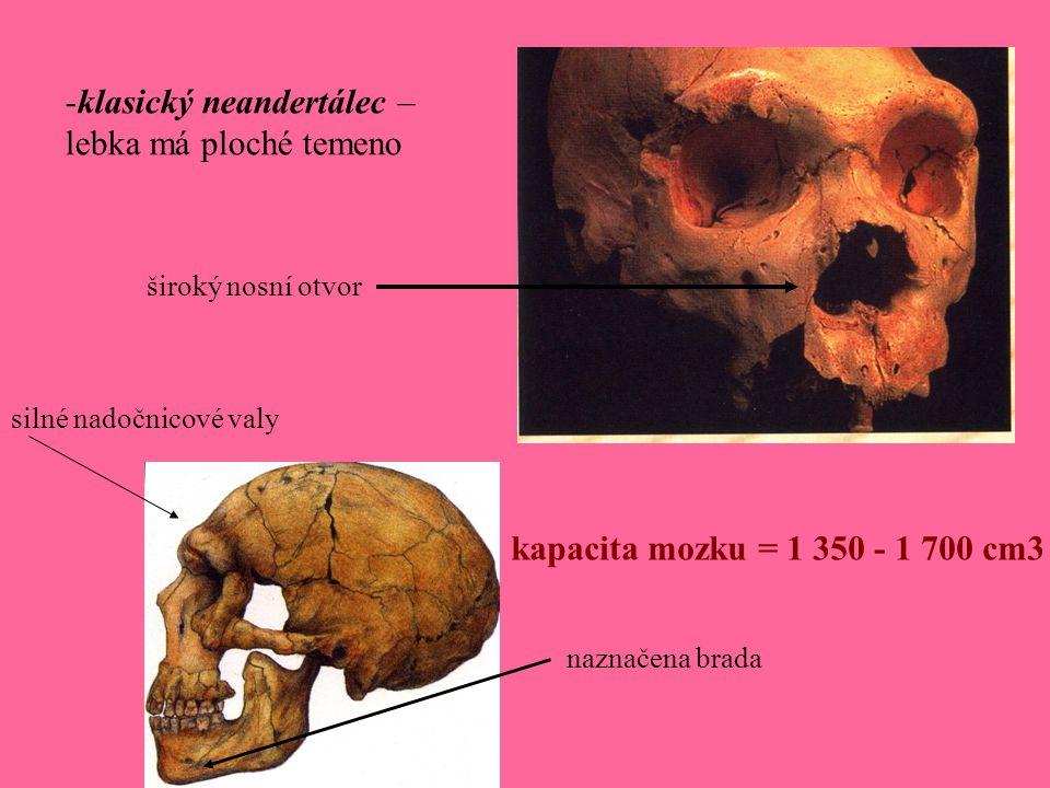 -klasický neandertálec – lebka má ploché temeno silné nadočnicové valy široký nosní otvor naznačena brada kapacita mozku = 1 350 - 1 700 cm3