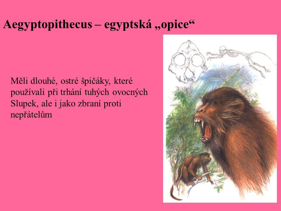 """Aegyptopithecus – egyptská """"opice"""" Měli dlouhé, ostré špičáky, které používali při trhání tuhých ovocných Slupek, ale i jako zbraní proti nepřátelům"""
