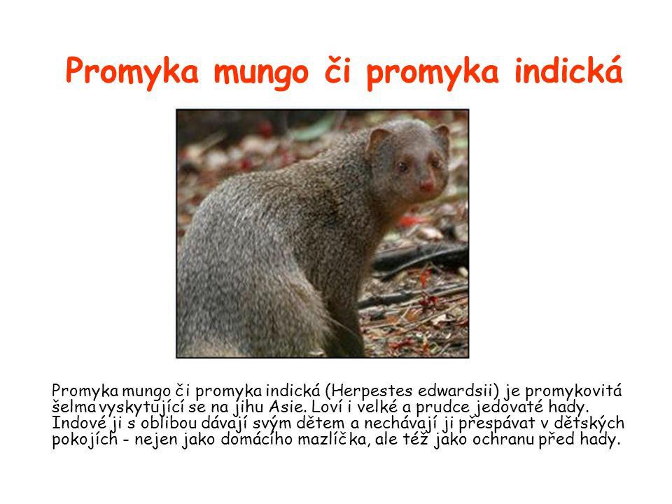 Promyka mungo či promyka indická Promyka mungo či promyka indická (Herpestes edwardsii) je promykovitá šelma vyskytující se na jihu Asie.