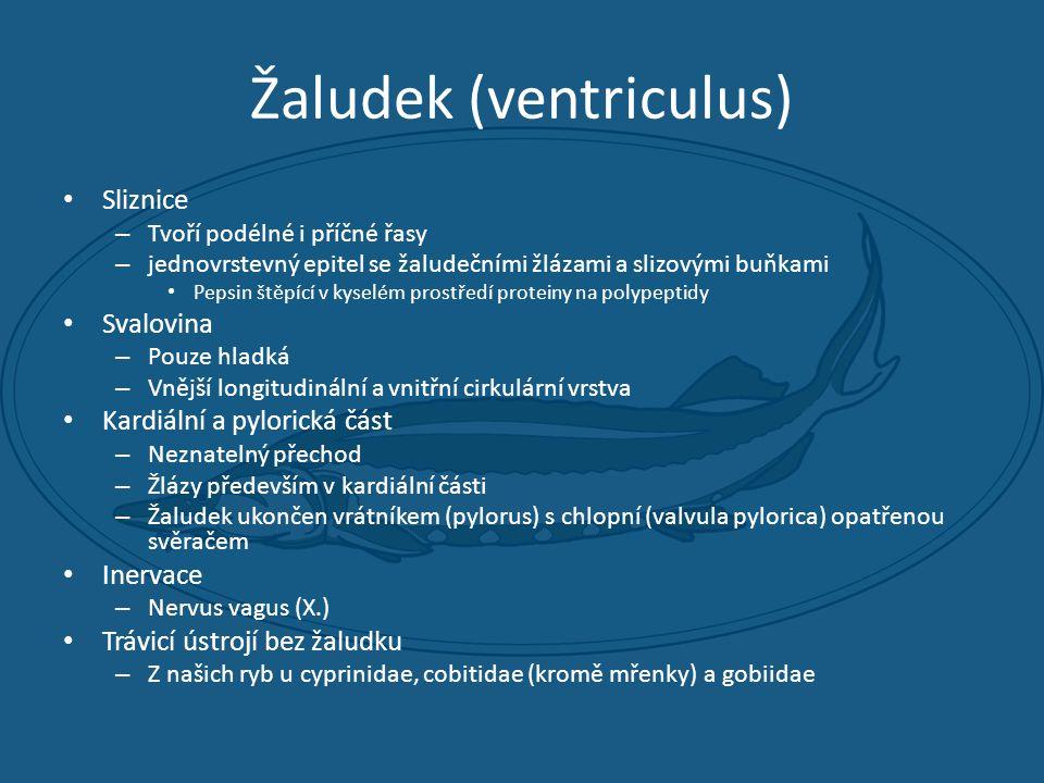Žaludek (ventriculus) • Sliznice – Tvoří podélné i příčné řasy – jednovrstevný epitel se žaludečními žlázami a slizovými buňkami • Pepsin štěpící v kyselém prostředí proteiny na polypeptidy • Svalovina – Pouze hladká – Vnější longitudinální a vnitřní cirkulární vrstva • Kardiální a pylorická část – Neznatelný přechod – Žlázy především v kardiální části – Žaludek ukončen vrátníkem (pylorus) s chlopní (valvula pylorica) opatřenou svěračem • Inervace – Nervus vagus (X.) • Trávicí ústrojí bez žaludku – Z našich ryb u cyprinidae, cobitidae (kromě mřenky) a gobiidae
