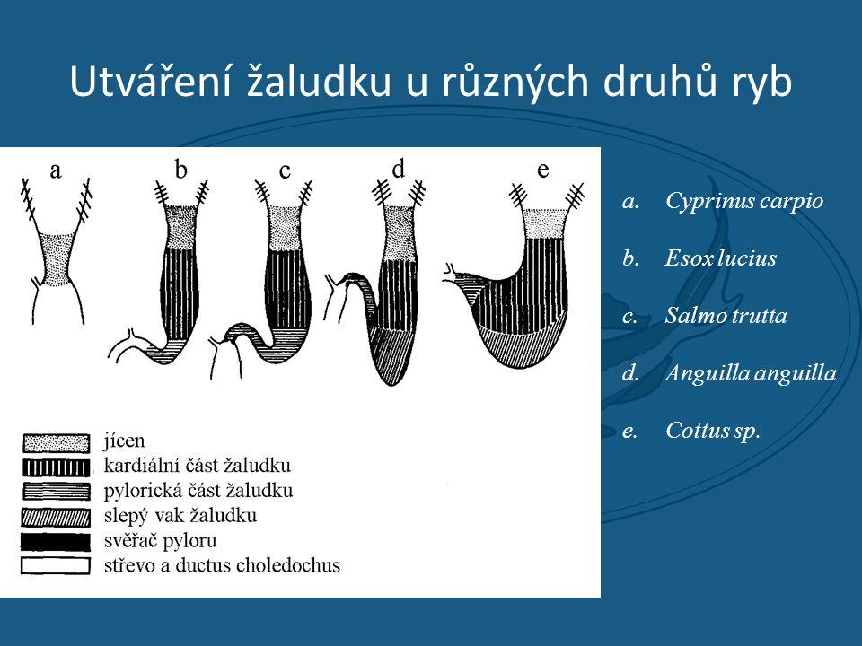 Utváření žaludku u různých druhů ryb a.Cyprinus carpio b.Esox lucius c.Salmo trutta d.Anguilla anguilla e.Cottus sp.