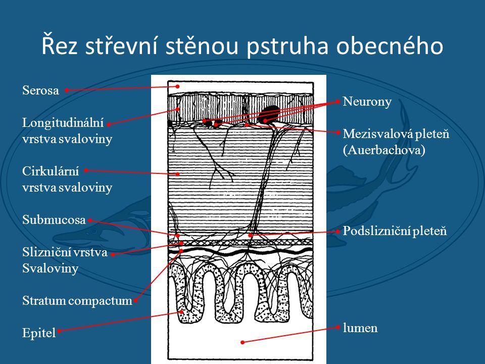 Řez střevní stěnou pstruha obecného Serosa Longitudinální vrstva svaloviny Cirkulární vrstva svaloviny Submucosa Slizniční vrstva Svaloviny Stratum compactum Epitel Neurony Mezisvalová pleteň (Auerbachova) Podslizniční pleteň lumen