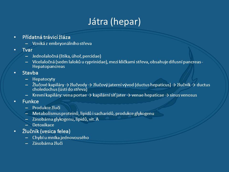 Játra (hepar) • Přídatná trávicí žláza – Vzniká z embryonálního střeva • Tvar – Jednolaločná (štika, úhoř, percidae) – Vícelaločná (sedm laloků u cyprinidae), mezi kličkami střeva, obsahuje difusní pancreas - Hepatopancreas • Stavba – Hepatocyty – Žlučové kapiláry → žlučvody → žlučový jaterní vývod (ductus hepaticus) → žlučník → ductus choledochus (ústí do střeva) – Krevní kapiláry: vena portae → kapilární síť jater → venae hepaticae → sinus venosus • Funkce – Produkce žluči – Metabolismus proteinů, lipidů i sacharidů, produkce glykogenu – Zásobárna glykogenu, lipidů, vit.