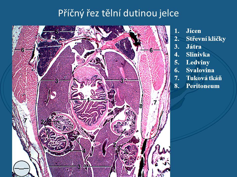 Příčný řez tělní dutinou jelce 1.Jícen 2.Střevní kličky 3.Játra 4.Slinivka 5.Ledviny 6.Svalovina 7.Tuková tkáň 8.Peritoneum
