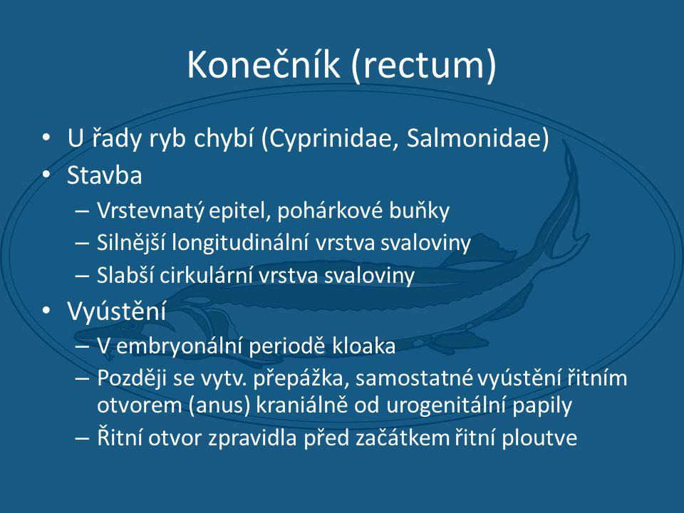 Konečník (rectum) • U řady ryb chybí (Cyprinidae, Salmonidae) • Stavba – Vrstevnatý epitel, pohárkové buňky – Silnější longitudinální vrstva svaloviny – Slabší cirkulární vrstva svaloviny • Vyústění – V embryonální periodě kloaka – Později se vytv.