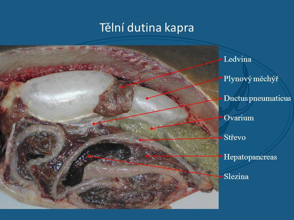 Tělní dutina kapra Ledvina Plynový měchýř Ductus pneumaticus Ovarium Střevo Hepatopancreas Slezina