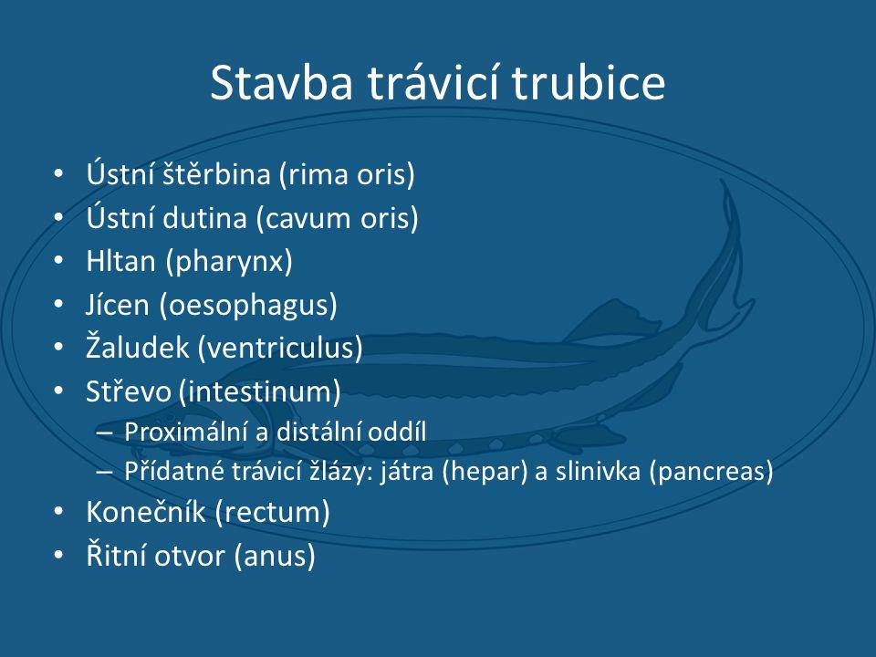 Stavba trávicí trubice • Ústní štěrbina (rima oris) • Ústní dutina (cavum oris) • Hltan (pharynx) • Jícen (oesophagus) • Žaludek (ventriculus) • Střevo (intestinum) – Proximální a distální oddíl – Přídatné trávicí žlázy: játra (hepar) a slinivka (pancreas) • Konečník (rectum) • Řitní otvor (anus)