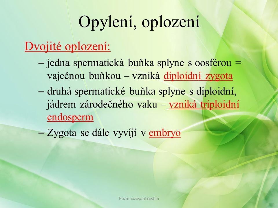 Opylení, oplození Dvojité oplození: – jedna spermatická buňka splyne s oosférou = vaječnou buňkou – vzniká diploidní zygota – druhá spermatické buňka