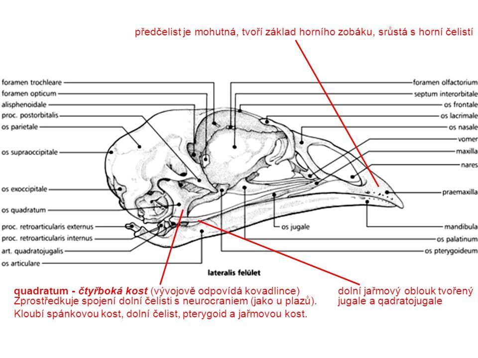Description: Columba livia.Skull of young specimen.