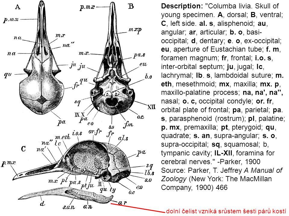 Description: Disarticulation of bird s skull.Membrane bones shaded.